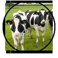Dairy & Beef Heifers