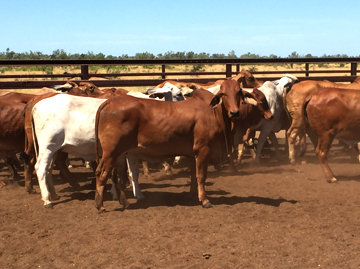 Brahman Cross Feeder