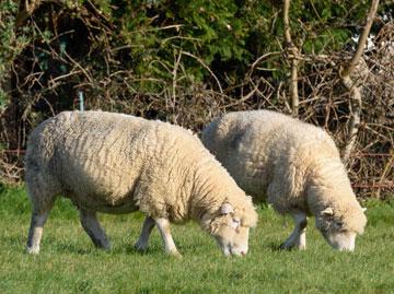 Dorset Ewe